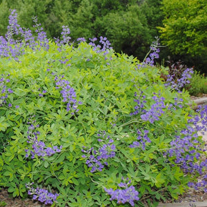 Blue False Indigo (Baptisia australis)