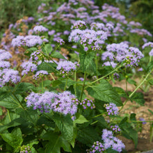 Load image into Gallery viewer, Blue mistflower plant