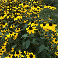 Load image into Gallery viewer, Brown Eyed Susan (Rudbeckia triloba)