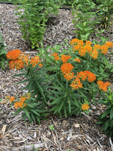 Load image into Gallery viewer, Butterfly Milkweed (Asclepias tuberosa)