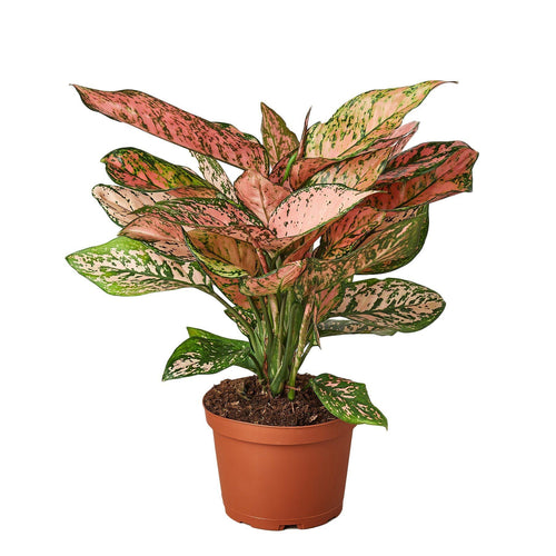 Chinese Evergreen Lady Valentine