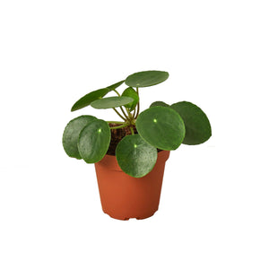 Chinese Money Plant (Pilea Peperomioides)