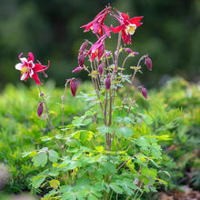 Load image into Gallery viewer, Columbine Plant
