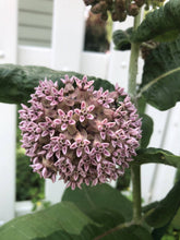 Load image into Gallery viewer, Common Milkweed (Asclepias syriaca)