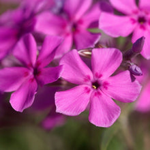 Load image into Gallery viewer, Downy Pink Phlox