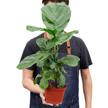 Load image into Gallery viewer, Fiddle Leaf Fig Plant