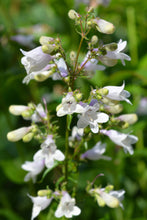 Load image into Gallery viewer, Foxglove Beardtongue