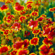 Load image into Gallery viewer, Gaillardia - Blanket Flower
