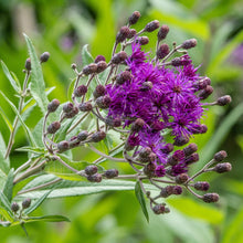 Load image into Gallery viewer, Ironweed (Vernonia fasciculata)