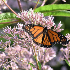 Nectar Plant for Monarch Butterfly
