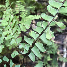 Load image into Gallery viewer, Maidenhair Fern (Adiantum pedatum)