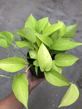 Load image into Gallery viewer, Neon Pothos (Devil's Ivy)