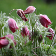 Load image into Gallery viewer, Pasque Flower (Anemone patens)
