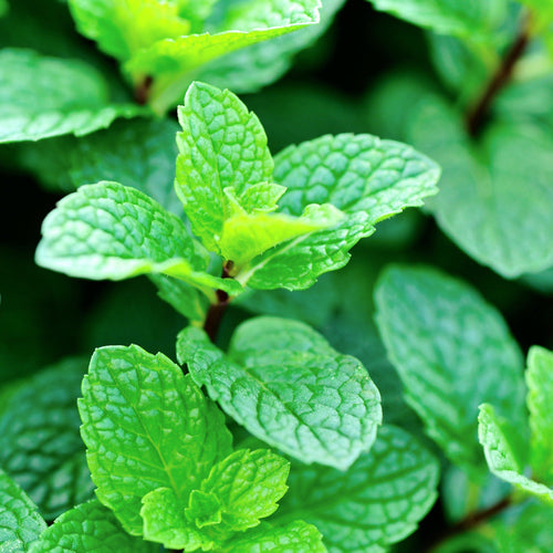 Peppermint Mint Plant