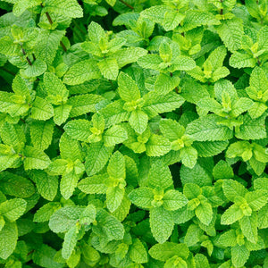 Peppermint Mint Herb Plant