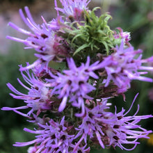 Load image into Gallery viewer, Prairie Blazingstar (Liatris pycnostachya)