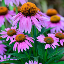 Load image into Gallery viewer, Purple Coneflower (Echinacea purpurea)