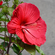 Load image into Gallery viewer, Rose Mallow Hibiscus
