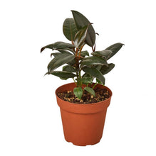 Load image into Gallery viewer, Rubber Tree Plant