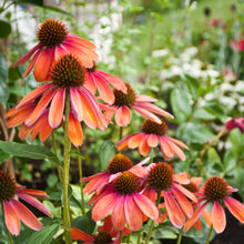 Load image into Gallery viewer, Ruby Star Coneflower for Sale