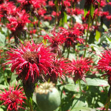 Load image into Gallery viewer, Scarlet Bee Balm