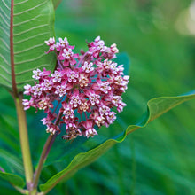 Load image into Gallery viewer, Common Milkweed