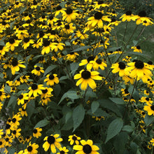Load image into Gallery viewer, Brown Eyed Susan