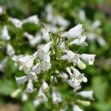 Load image into Gallery viewer, Foxglove Beardtongue Penstemon