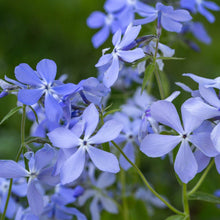 Load image into Gallery viewer, Wild Blue Phlox