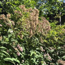 Load image into Gallery viewer, Sweet Joe Pye Weed