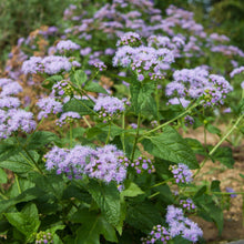 Load image into Gallery viewer, Blue Mistflower