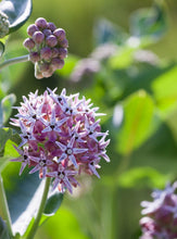 Load image into Gallery viewer, Showy Milkweed (Asclepias giffordii)