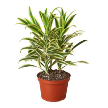 Load image into Gallery viewer, Song of India Variegata (Dracaena reflexa)