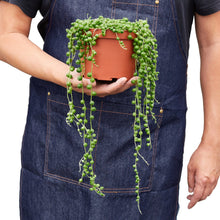 Load image into Gallery viewer, string of pearls succulent