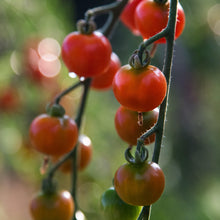 Load image into Gallery viewer, Sun Gold Cherry Tomato Plant