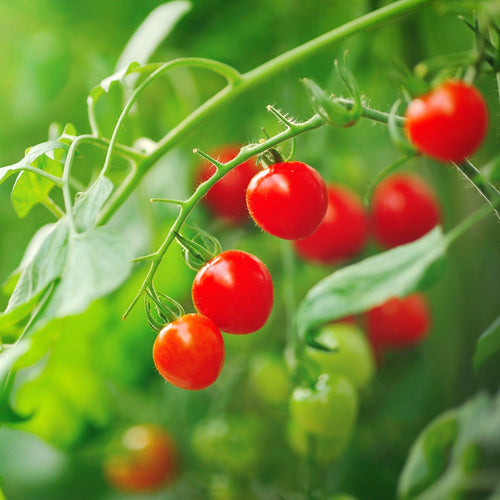 Supersweet 100 Cherry Tomato Plant