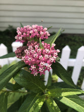 Load image into Gallery viewer, Swamp Milkweed (Asclepias incarnata)