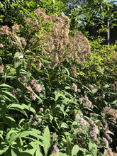 Load image into Gallery viewer, Sweet Joe Pye Weed (Eutrochium purpureum)