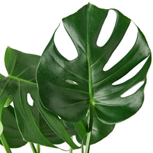 Load image into Gallery viewer, Swiss Cheese Plant (Monstera Deliciosa)