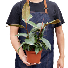 Load image into Gallery viewer, Variegated Rubber Tree (Ficus Elastica Tineke)