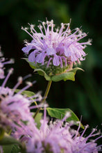 "Load image into Gallery viewer, Wild ""Bee Balm"" Bergamot (Monarda fistulosa)"