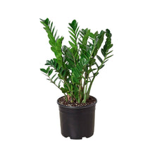 "Load image into Gallery viewer, ZZ Plant 10"" Pot"