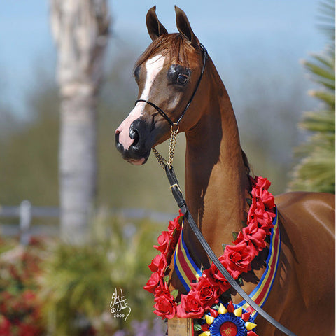 Arabian Show Cable Halter