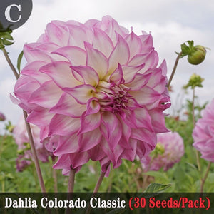 5 Kinds of Dahlias Seeds (30 Seeds/Pack) Garden Potted Ornamental Flower Seeds Balcony Bonsai Flower Plants
