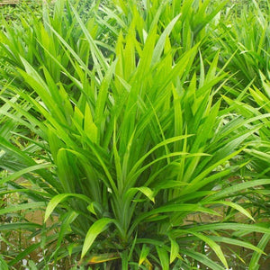 50Pcs/Bag Fragrant Grass Seeds Annual Pandan Flower Potted Home Garden Bonsai Plant Seeds