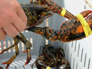<span><strong>Fresh Live Maine Lobster</strong> 1.25lb.ea. (Quarters)</span>