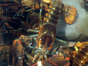 <span><strong>Fresh Live Maine Lobster</strong> 1.50 lb.ea (Large)</span>