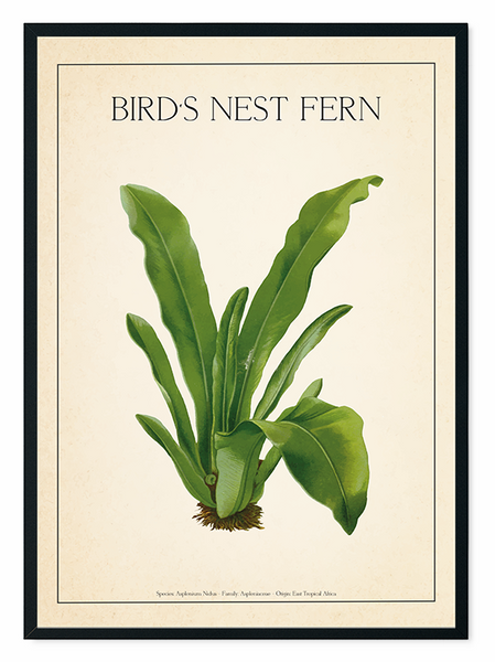 The Bird's Nest Fern