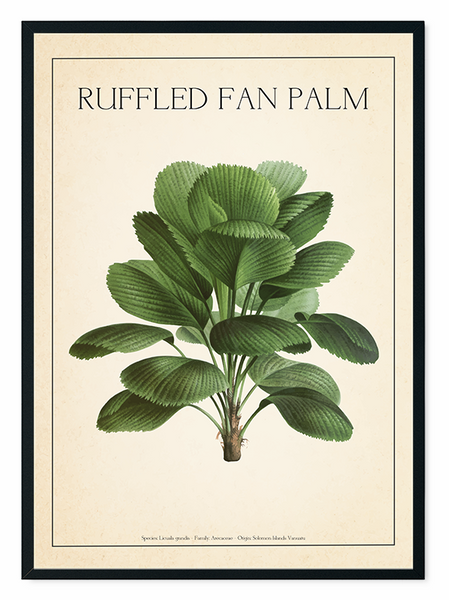 The Ruffled Fan Palm