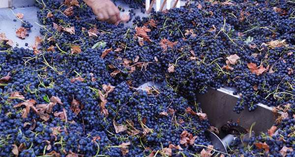 Processing Syrah (VIDEO)